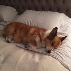 "ghostofthewind: ""Nos Da #goodnight #corgiprincess #princess #corgi #fluffy #writer """