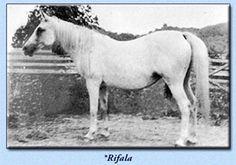 *Rifala  AHR #815 (GSB #758)  Color: Grey Sex: Mare Foaled: 1922  Sire: Skowronek (Ibrahim x Jaskolka)  Dam: Rissla (Berk x Risala by Mesaoud)  Breeder: Crabbet Park Arabian Stud. Sussex, England