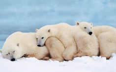 Sleeping Polar Bears | All Wallpapers