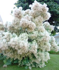 15 Seeds w/Instructions Cotinus Coggygria is a multiple-branching shrub native from Southern Europe across to China. It grows to 10 - 20 ft tall w White Gardens, Farm Gardens, Moon Garden, Dream Garden, Trees And Shrubs, Trees To Plant, Flowering Shrubs, Garden Trees, Garden Plants