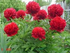 Rare Crimson Red Tree Peony Flower Seeds, 5 Seeds, light fragrant garden flowers for home decor-Land Miracle Tree Peony, Peony Flower, Flower Seeds, Flower Pots, Outdoor Plants, Garden Plants, Red Flowers, Beautiful Flowers, Red Peonies