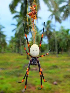 Tongan giant spider - Nephila tetragnathoides - by Rogus - JungleDragon Sea Spider, Spider Art, Giant Spider, Beautiful Bugs, Animals Beautiful, Cute Animals, Spider Identification, Big Spiders, Cool Bugs