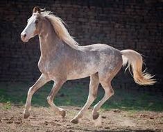 Image result for sabino horse