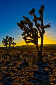 Joshua Tree In Death Valley National Park Photograph  - Joshua Tree In Death Valley National Park