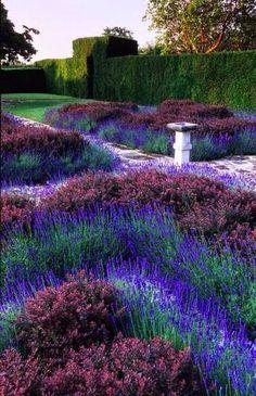 Lavender barberry knot garden....