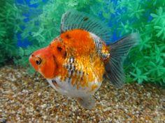 Lot# 9580 Tri-color (metallic) Short Tail Ryukin (4.75 inches) goldfishnet.com
