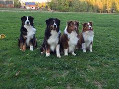 Drover's ladies. Australian shepherds