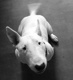 Look at my tail ... I'm very happy #bullterrier