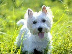 His name will be Appa! http://1.bp.blogspot.com/-IbtzL41ek24/T36PnUHDIDI/AAAAAAAAAiM/OzwN99jdKp4/s1600/West-Highland-Terrier-1.jpg