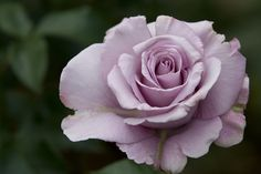 Purple Roses   Purple Rose   HomeGardenandYou.com