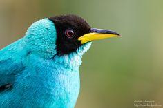 Green Honeycreeper - Male - Asa Wright Nature Center, Trinidad