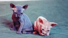 And these two little alien kittens who were brought down to earth to bring us joy. | 23 Photos That Prove Hairless Cats Are Actually Adorable