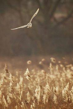 Barn owl aka tornuggla