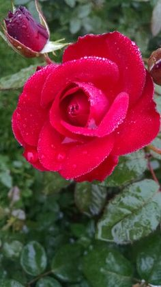 My rose Dark Red Roses, Morning Rose, Beautiful Roses, Flowers, Plants, Gardening, Plant, Royal Icing Flowers, Flower