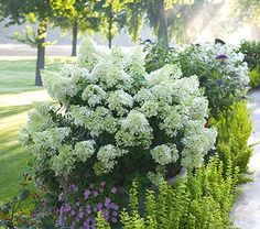 Hydrangea paniculata Bobo®.  Love the plant combination