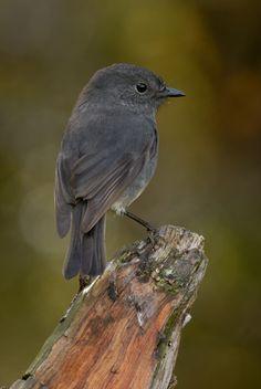 New Zealand Robin - Big Bird, Small Birds, Little Birds, Pretty Birds, Love Birds, Beautiful Birds, Scenery Photography, Wildlife Photography, Night Photography