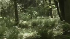 BC Bigfoot Sighting Footage