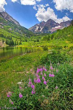 fireweed and view of Maroon Bells, White River National Forest, Colorado