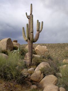 Saguaro, Salt River Canyon