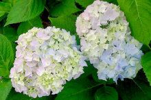 La hortensia   Cuidar de tus plantas es facilisimo.com