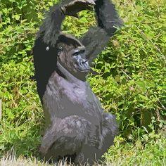 Gorilla The Macarena ! (dance) paint... 21 (c)(h) by Olao-Olavia par Okaio Créations fz 1000