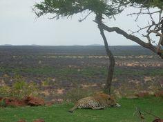 Okonjima's Nature Reserve King - Mafana takes over the famous zen garden look out spot for the day. www.okonjima.com