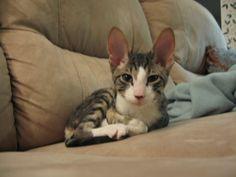 My cat (Cornish rex kitten) syhina.blogspot.fi