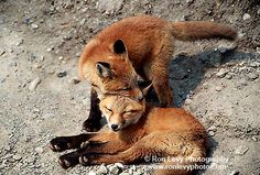 Young red foxes share a nuzzle in Denali National Park, Alaska