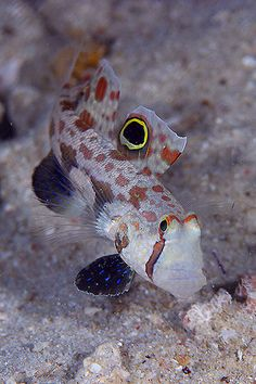 Goby by aquanerds on flickr*