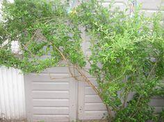 20%OFF 3 Goji berries plant rooted Goji Superfood 3 by KnitSew4U
