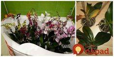 Kto by nemiloval orchideu? Kráľovná izbových rastlín nás každý deň teší svojimi nádhernými kvetmi. Čo však robiť preto, aby orchidea ostala krásna čo najdlhšie? Vyskúšajte tieto triky.