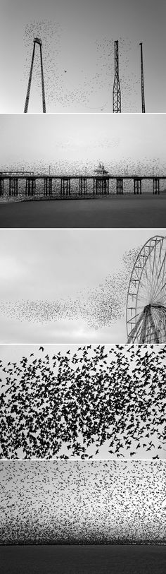 Impresionates fotografías de Yannick Dixon.  Murmuration of starlings.