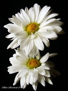 Daisy......... I love the white color, it represents purity and chastity !! أحب اللون الأبيض رمز الطهر والنقاء والعفاف !!