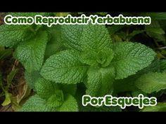 Como Reproducir Yerbabuena o HierbaBuena por Esqueje