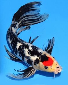 Resultado de imagem para butterfly koi fish