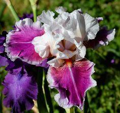 TB Iris germanica 'Ringo' (Shoop 1979)