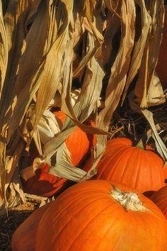 Pumpkin harvest~*~⌘~*~