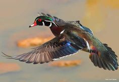Image result for wood ducks