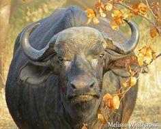 Buffalo, Mopani, KNP