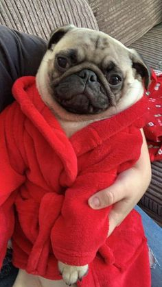 cool Pug dogs and puppies Pug Dogs, Pug Puppies, Doggies, Cute Pug Pictures, Apricot Recipes, Small Dog Sweaters, Pugs And Kisses, Baby Pugs, Aggressive Dog