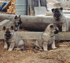 Elkhound puppies....I WANT ONE!!!