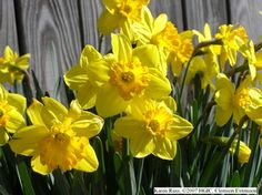 Flowering bulbs like daffodils, tulips, hyacinths and crocus are some of the earliest flowers to appear in gardens each year, some starting to bloom as.