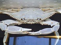 http://mrdungenesscrabber.com/went-crabbing-and-caught-an-albino-blue-crab/