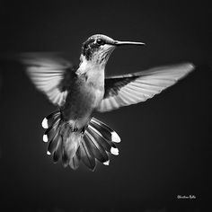 Fantail Hummingbird Black and White by ChristinaRolloArt on Etsy
