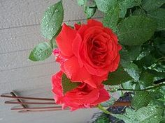 ROSES GROWING BEAUTIFUL WITH COFFEE GROUNDS