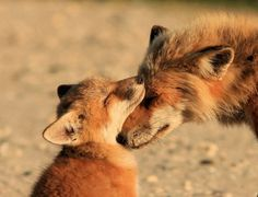 Fox kit and mom. I wish foxes were domesticated.