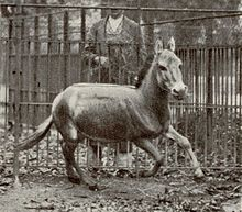 Syrian wild ass, became extinct in 1927. This one was pictured in 1915 - Wikipedia, the free encyclopedia