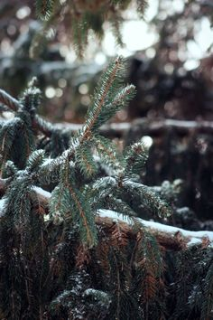 "walking-geema: "" Norway Spruce """