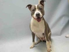 LILAC – A1078452 FEMALE, BROWN / WHITE, AM PIT BULL TER MIX, 4 yrs STRAY – STRAY WAIT, HOLD FOR ID Reason STRAY Intake condition EXAM REQ Intake Date 06/22/2016, From NY 11208, DueOut Date 06/25/2016,