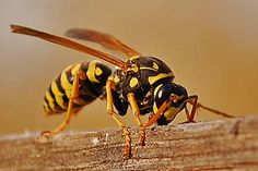 European paper wasp gathering wood for it's nest